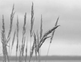 Bild in schwarzweiß: Wildgräser vor einem unscharfen, fast einfarbigen Hintergrund. Im Vordergrund ein Grasblütenstand mit Schnee und Eis, er neigt sich etwas unter dem Gewicht