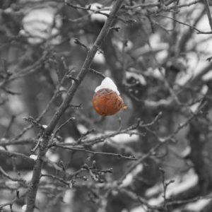 Bild fast ganz in schwarzweiß: Gewirr von Ästen, teils von Schnee bedeckt. In der Mitte des Bildes, als einziges in Farbe, ein letzter verbliebener Apfel, rot und bräunlich und sichtlich von den Monaten am Baum gezeichnet